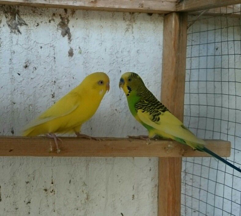 طيور الحب Parrot Bird Animals