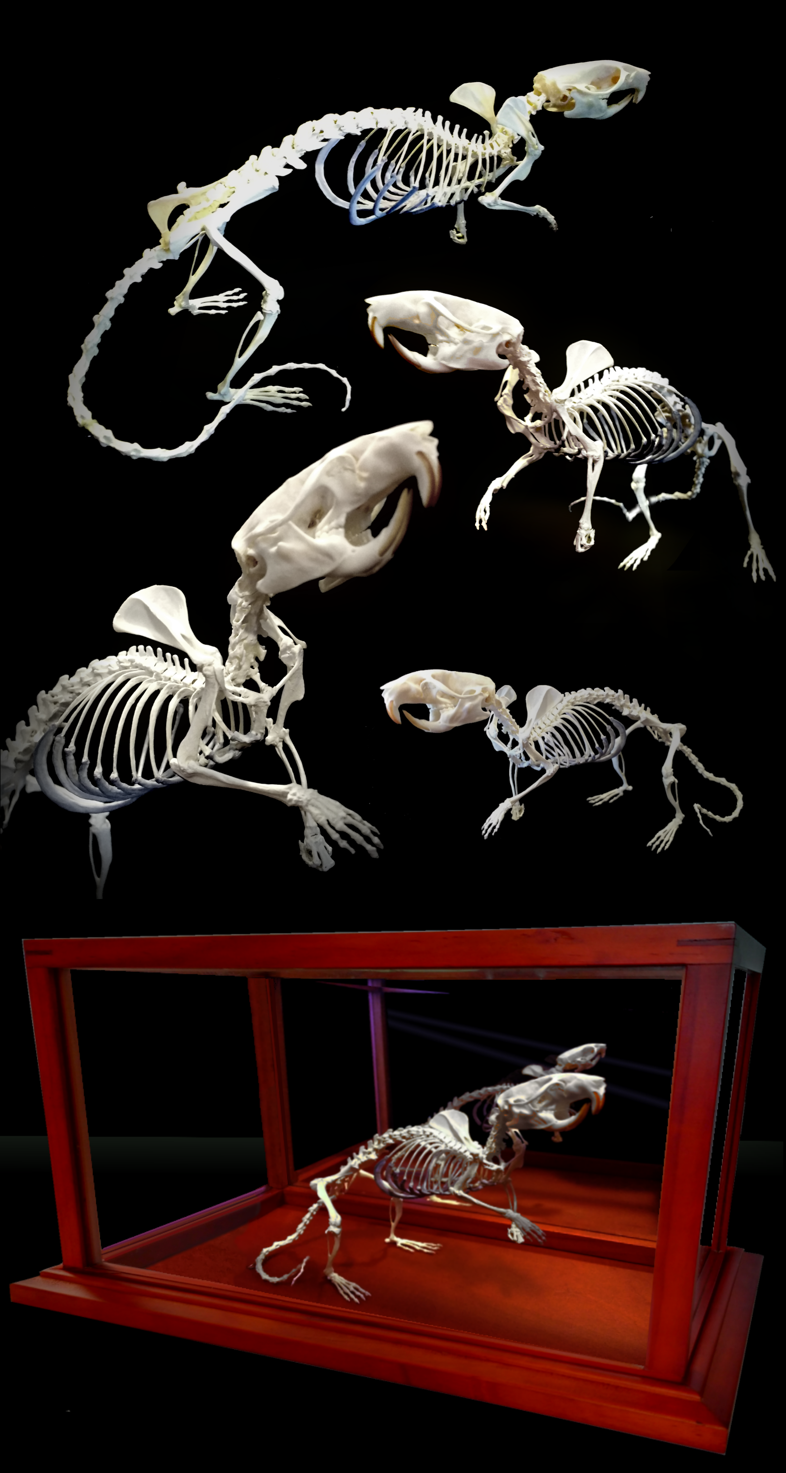 Available on Etsy! Articulated skeleton of rat, real bones, decor ...
