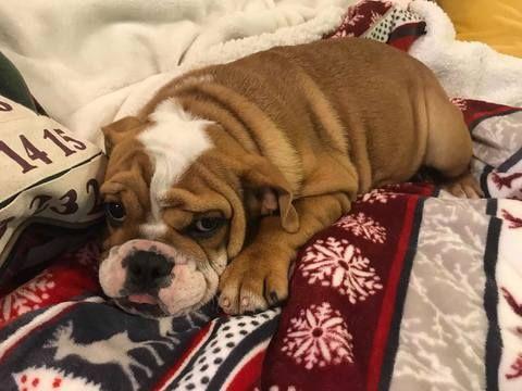 Bulldog Puppy For Sale In Charleston Sc Adn 56103 On Puppyfinder