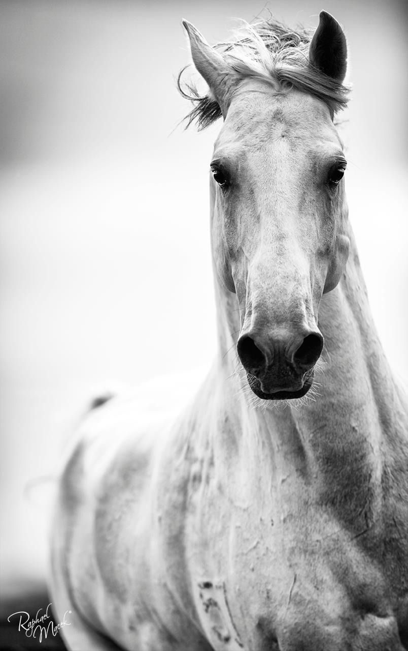 spirited horse black and white horse photography by. Black Bedroom Furniture Sets. Home Design Ideas