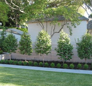 olive tree garden design google search - Garden Design Trees