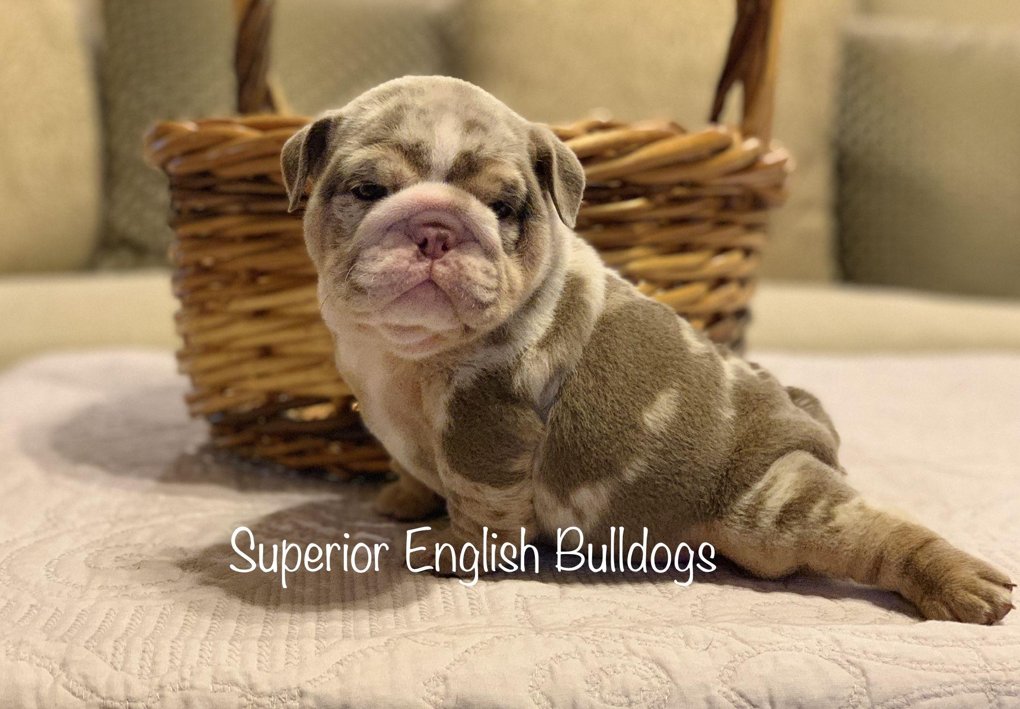 Pin By Superior English Bulldogs On English Bulldogs Cute