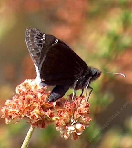 Beautiful Nature Los Angeles: California Buckwheat, Eriogonum Fasciculatum Foliolosum