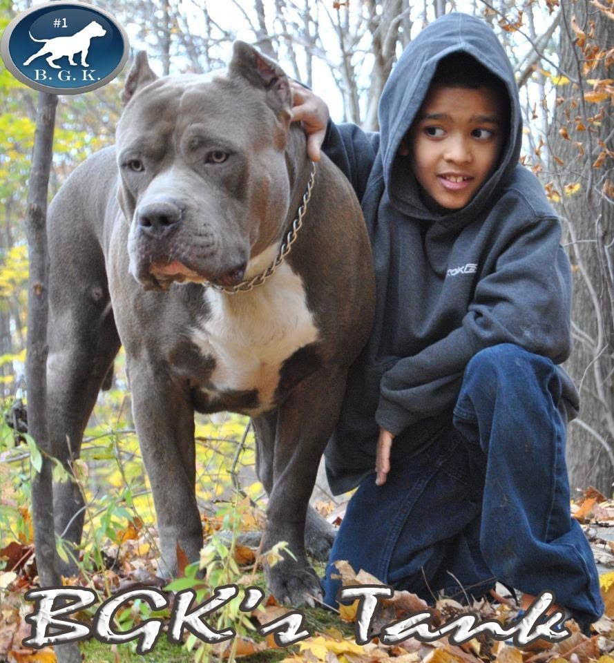 Biggest Blue Xl Bully Pitbull Bgk S Tank 2 Years 157 Lbs Vet