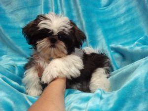 Shih Tzu Puppies In Kansas Shih Tzu Puppy Shih Tzu Puppies