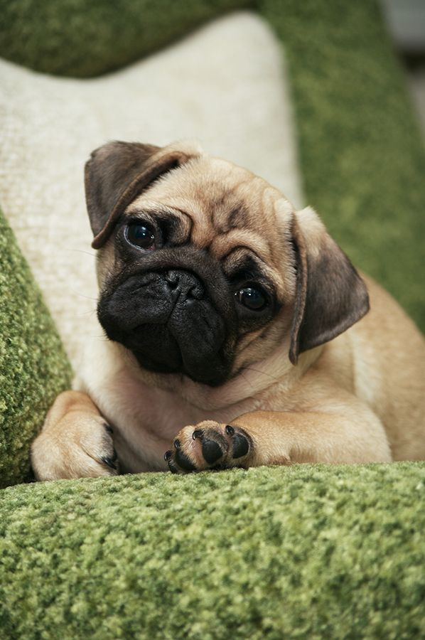 Someday I Will Have My Pug And Name It Pickles Or Rooster Pugs