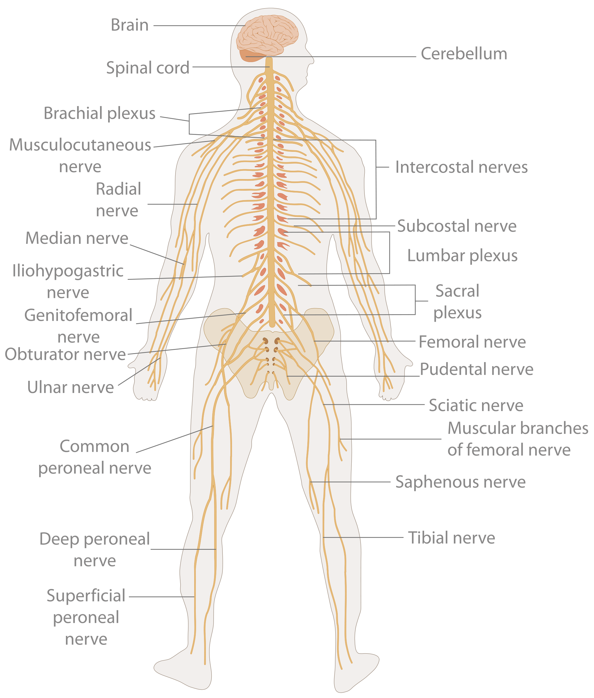 Simple Diagram Of Human Nervous System Block And Schematic Diagrams