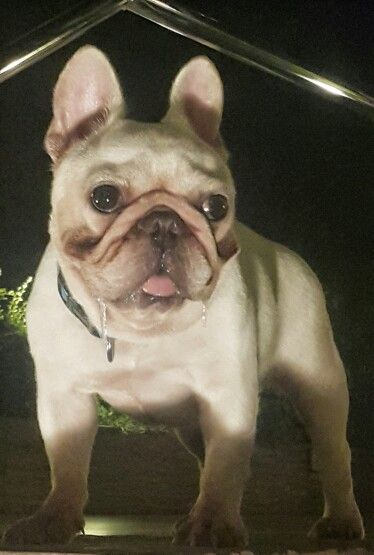 Drooling French Bulldog Coco With Images French Bulldog