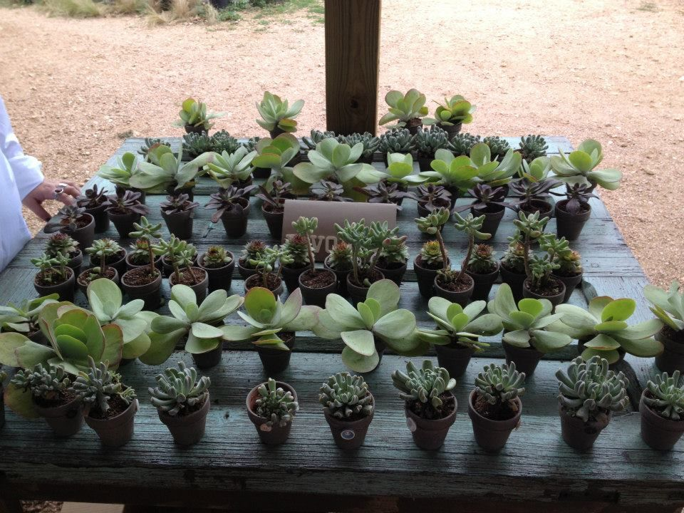 Whole Succulents Purchased At The Far South Nursery In Austin Tiny Pots Made From A Martha Milkpaint Diy And Tweaked Bit
