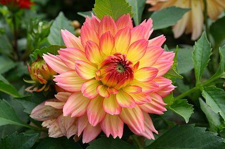 Floral Emblem Flower Names Dahlia Flower Bonsai Flower