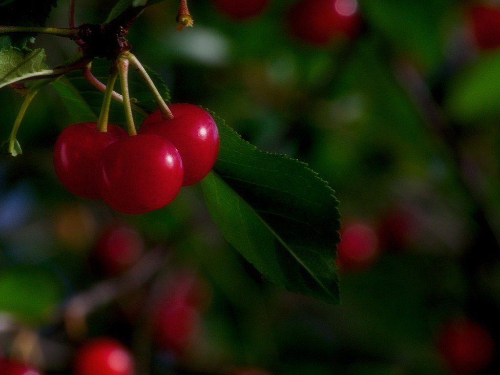 Cherry Tree Problems What To Do For A Cherry Tree Not Fruiting Growing Cherry Trees Planting Cherry Seeds Cherry Seeds