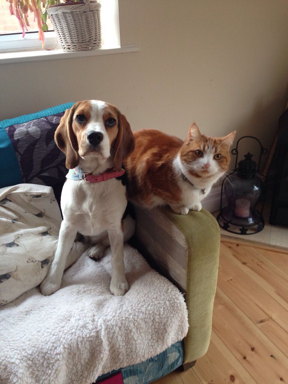 Beagle and cat beagle cats dogs