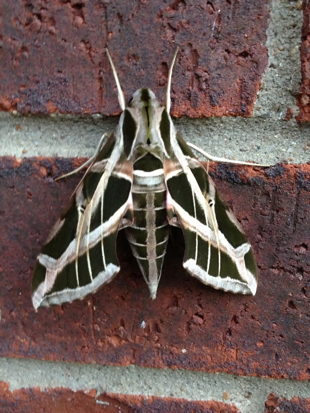 Image result for black witch moth craft feathers wings legs image result for black witch moth biocorpaavc