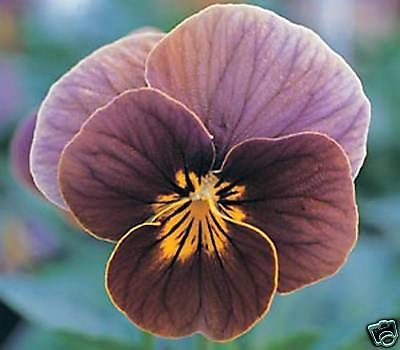 Viola Mini Pansy Velour Frosted Chocolate 20 Seeds Flowers Perennials Pansies Flowers Flower Seeds