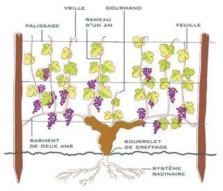 Milhade Grands Vins De Bordeaux Vigne Taille Vigne Vente Vin