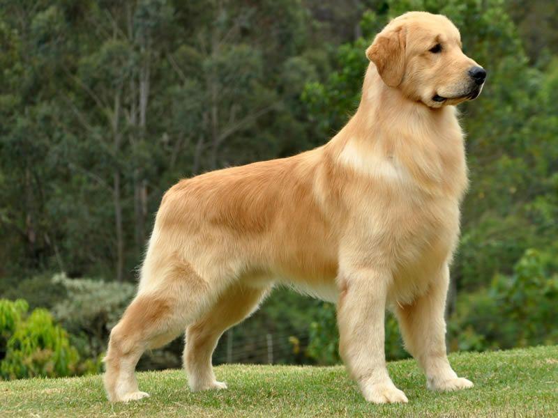 As 7 Racas De Cachorros Mais Faceis De Adestrar Em Casa Dog
