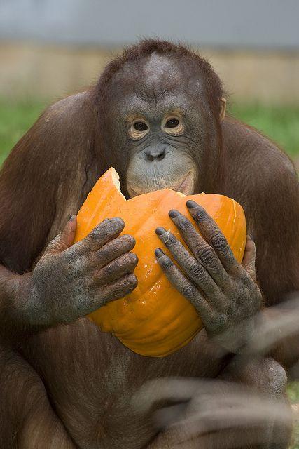 Orangutan Batang enjoys a pumpkin (by Smithsonian's National Zoo, via Flickr)