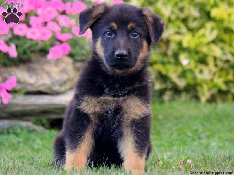 Skylar German Shepherd Puppy For Sale In Lancaster Pa Shepherd