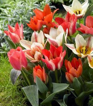 Tulip Kaufmanniana and Greigii Mixture   ! Plants Flowers