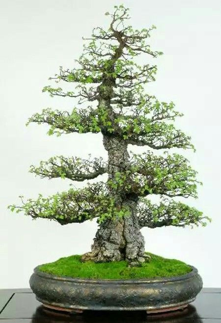 Sycamore Maple You Wonder Which Is Older The Man Or The Tree A Beautiful Example Of A Bonsai In Its Autumn Colours Bonsai Tree Types Elm Bonsai Bonsai Tree