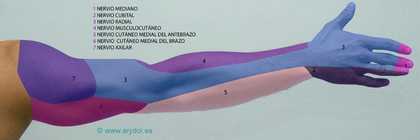 ARYDOL - Anatomía del plexo braquial | mi mano en recuperacion ...