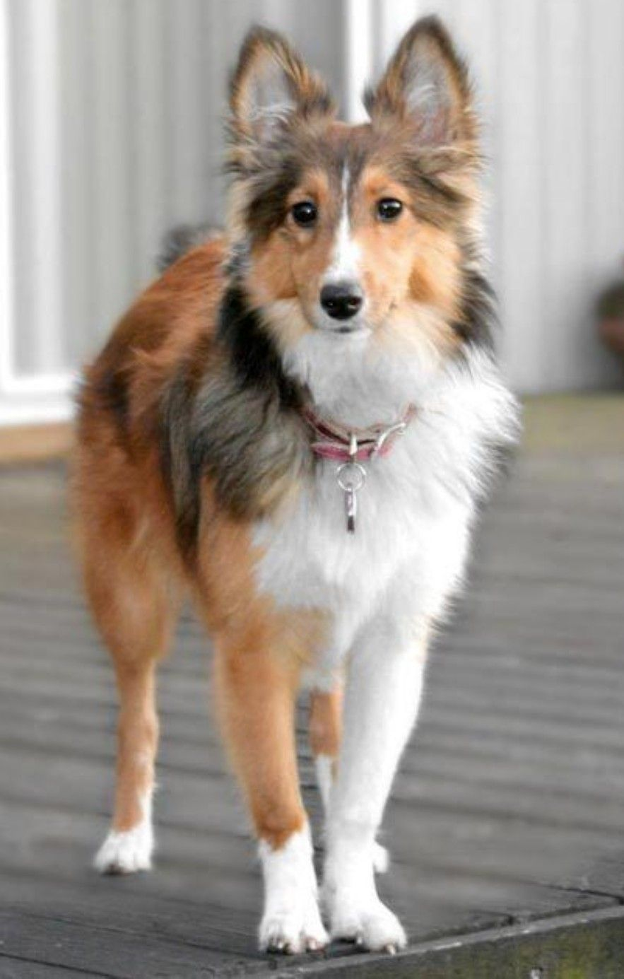 Short Hair Sheltie Sheep Dog Puppy Shetland Sheepdog Sheltie Dogs