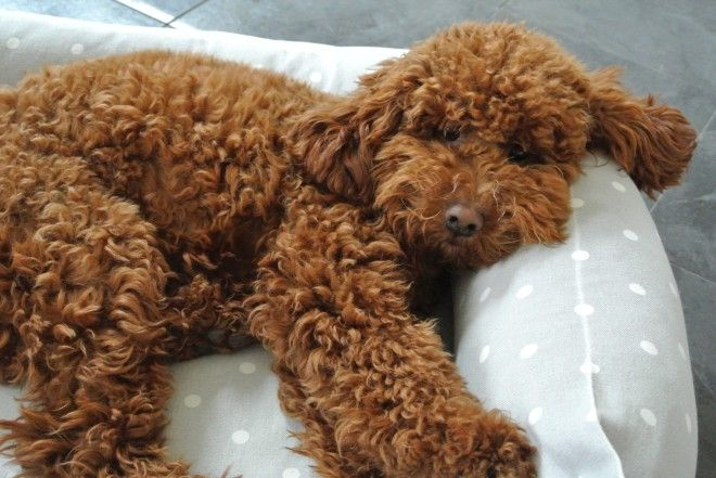 Red Poodle Stud Fully Dna Health Tested Red Poodles Poodle