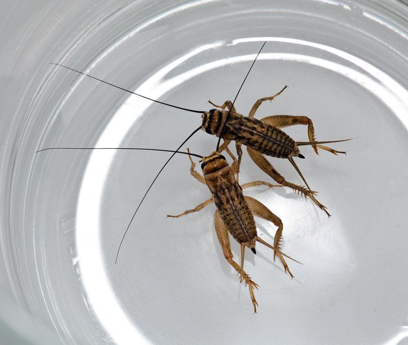 Account Suspended Getting Rid Of Crickets Home Remedies Cricket Infestation