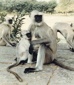 Hanuman langur, Semnopithecus entellus