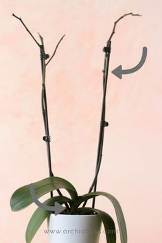 Where To Cut The Orchid Flower Spike For More Flowers Faster Container Gardening House Plants Orchids Orchids Garden