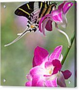 Giant Swordtail Butterfly Graphium Androcles On Orchid Acrylic Print by Robert Jensen