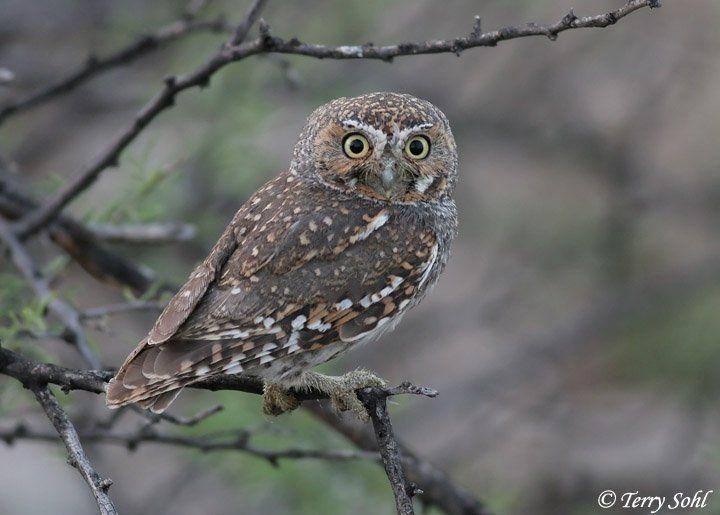 Elf Owl | Elf Owl plumage - | The Birds | Pinterest | Elves, Owl ...