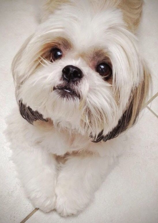 That Face Dog Breeds That Dont Shed Shih Tzu Best Dog Breeds
