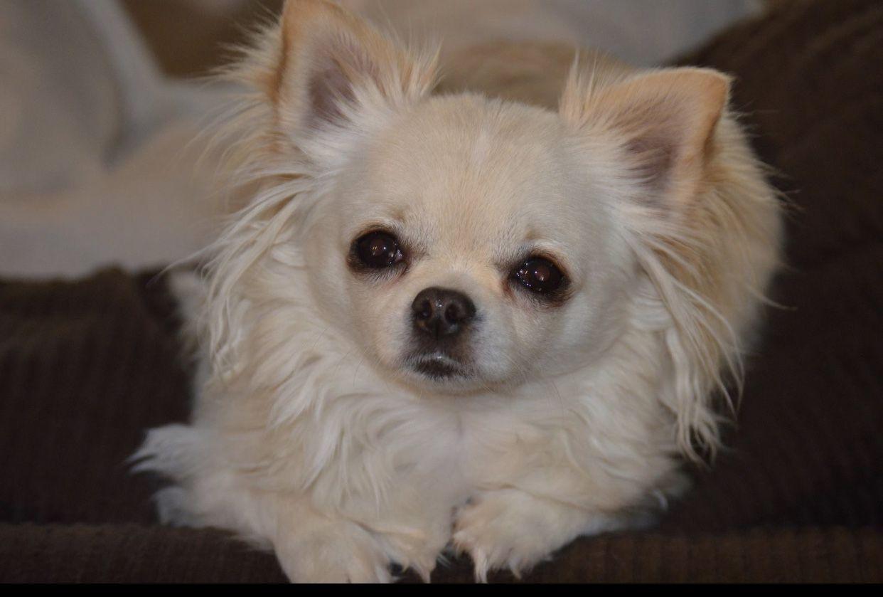 Long Hair Cream And White Chihuahua Baby Animals Animals