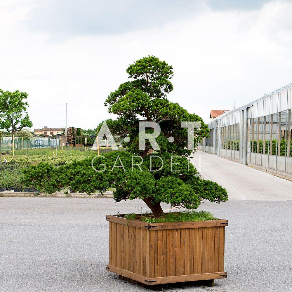 arbres nuages pas cher arbres nuage japonais bonsai geant pinterest landscaping and gardens. Black Bedroom Furniture Sets. Home Design Ideas