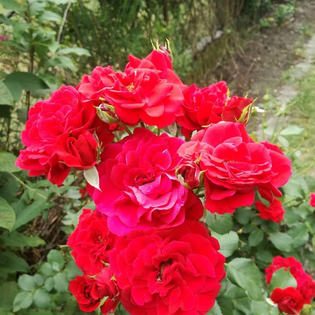 Gartenrosen Garten Rosen Flowers Unsecured Credit Cards Rose