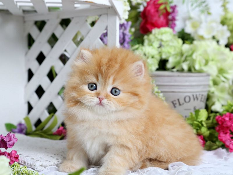 Reba Red Tabby Female Persian Kitten For Sale Persian Kittens Persian Kittens For Sale Kittens Cutest