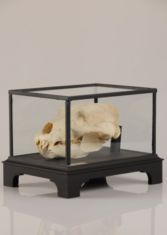 Huge Fossil Skull of a Bear Encased in a Custom Glass Display Cabinet 1970