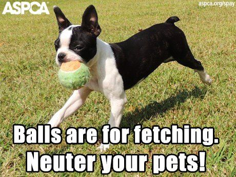 Balls Are For Fetching Neuter Your Pets Funny Image Veterinary Humor Dog Insurance Funny Animals