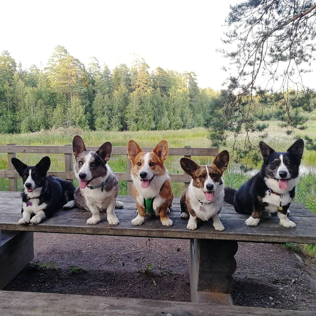 Cardigan Welsh Corgi Cardigan Welsh Corgi Dogs Cardigan Welsh Corgis Cardigan Welsh Corgi Puppies Cardigan Welsh Corgi Love Corgi Dog Welsh Corgi Puppies Corgi