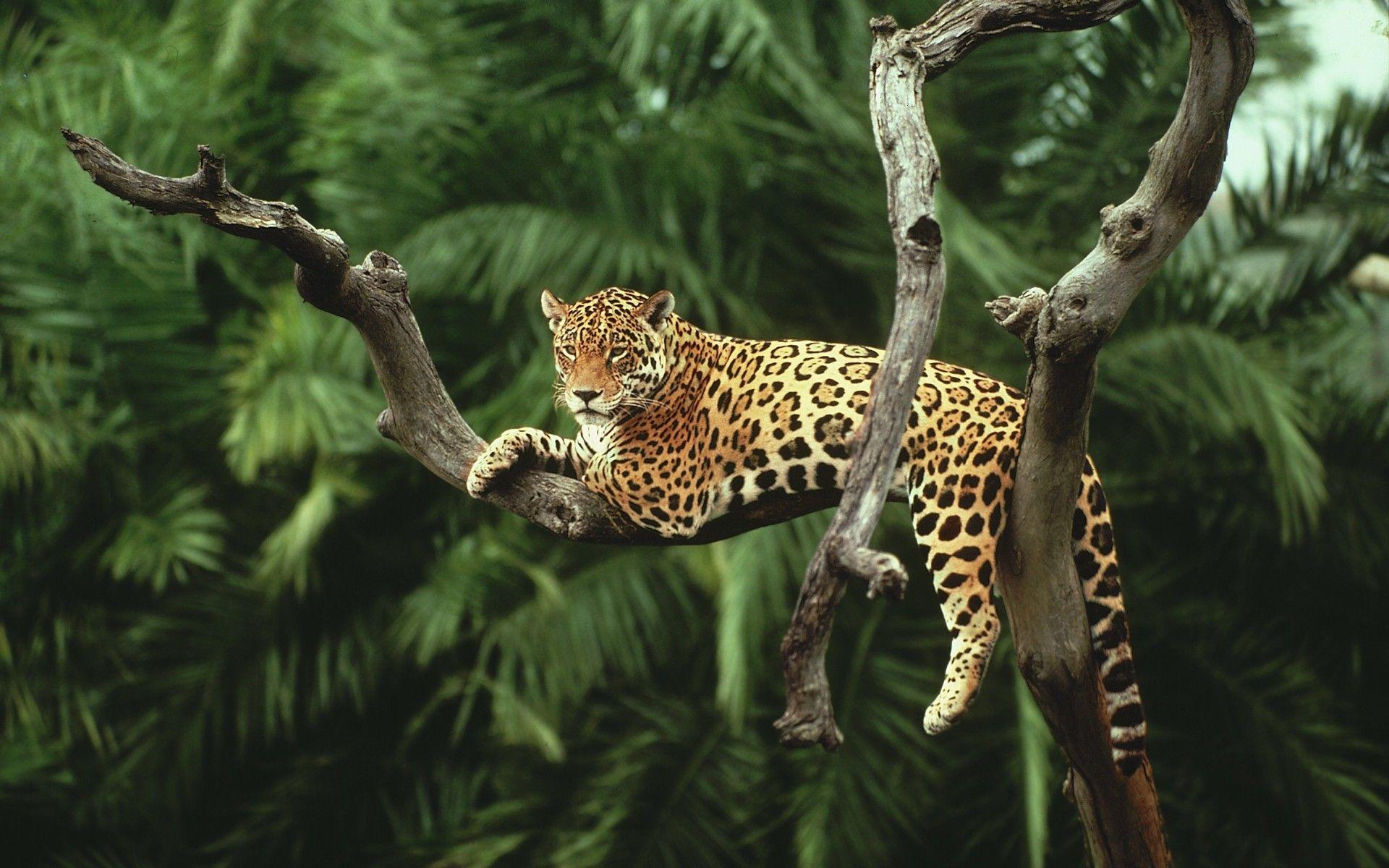 появились фотографии ягуара в природе тем, как
