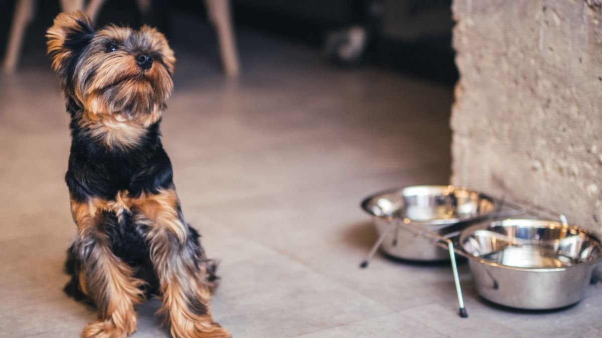 How To Keep Your Yorkshire Terrier Fit In 2021 Yorkshire Terrier Terrier Yorkie