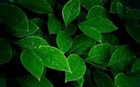 Dark Green Cane Fever Leaves Green Wallpaper