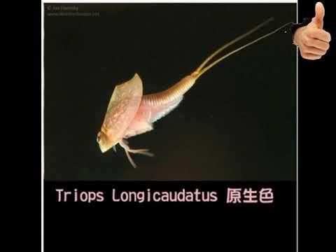 2020 80mm Length Triop Eggs Magic Living Animal Prehistoric Animals Aquarium Pets Triops Christmas T