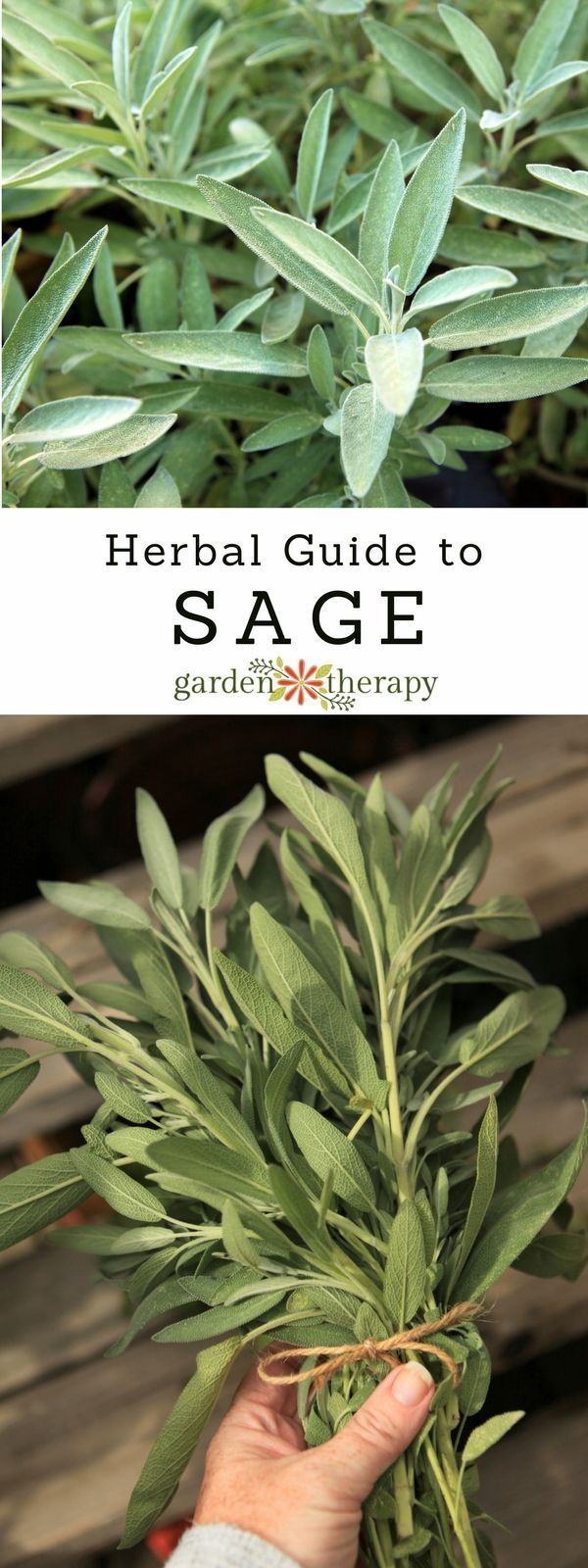 The Herbal Guide to Sage: an Easy-Growing Healing Herb #herbsgarden