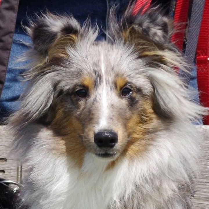 Blue Merle Sheltie Beautiful Dogs Sheltie Collie Dog
