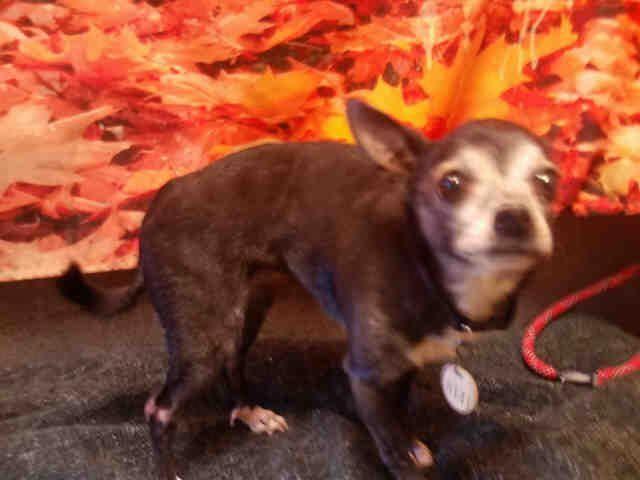 Chug Dog For Adoption In Forestville Md Adn 514753 On