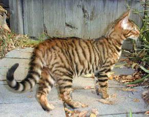 Le Toyger Chat Le Blog De La Vieille Aux Chats Toyger Cat Bengal Cat Tabby Cat