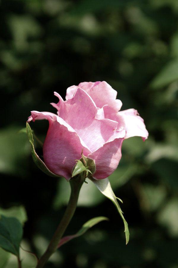 pink rose by alesana-x-fan