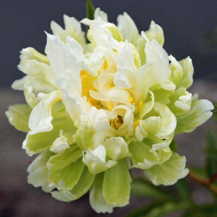 Peony Green Halo Peonies Beautiful Flowers Peony Flower